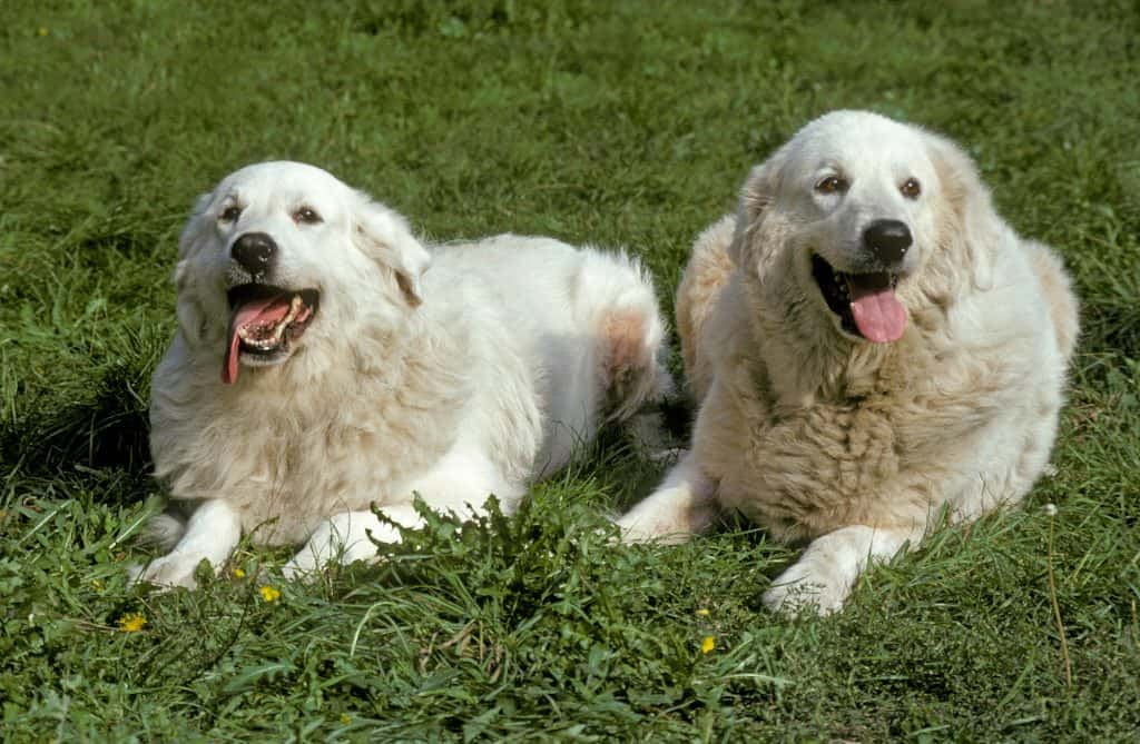 Great Pyrenees Together