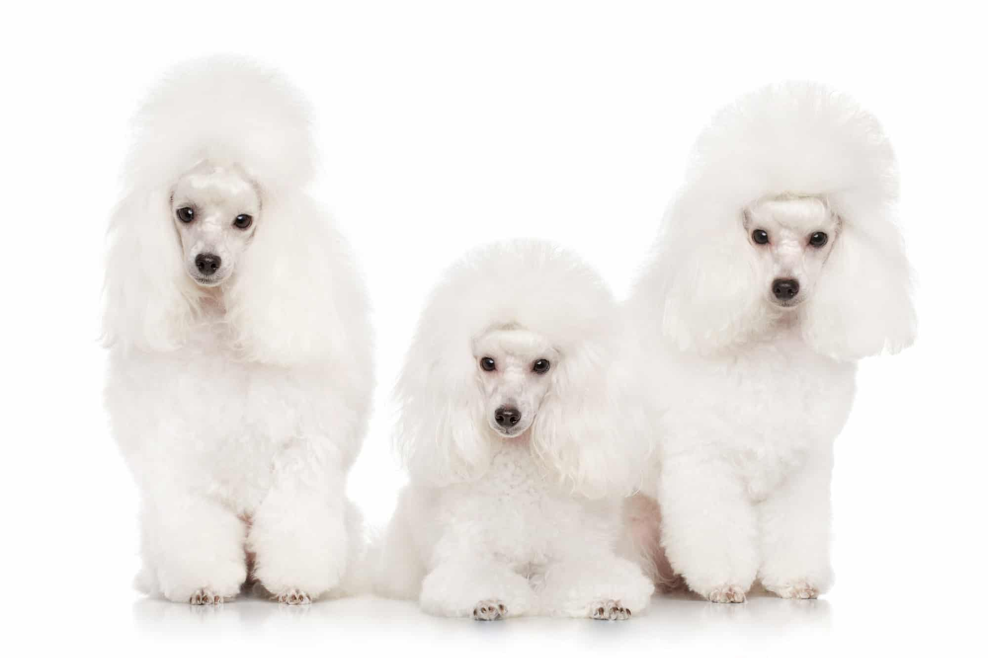 Group Of Poodles