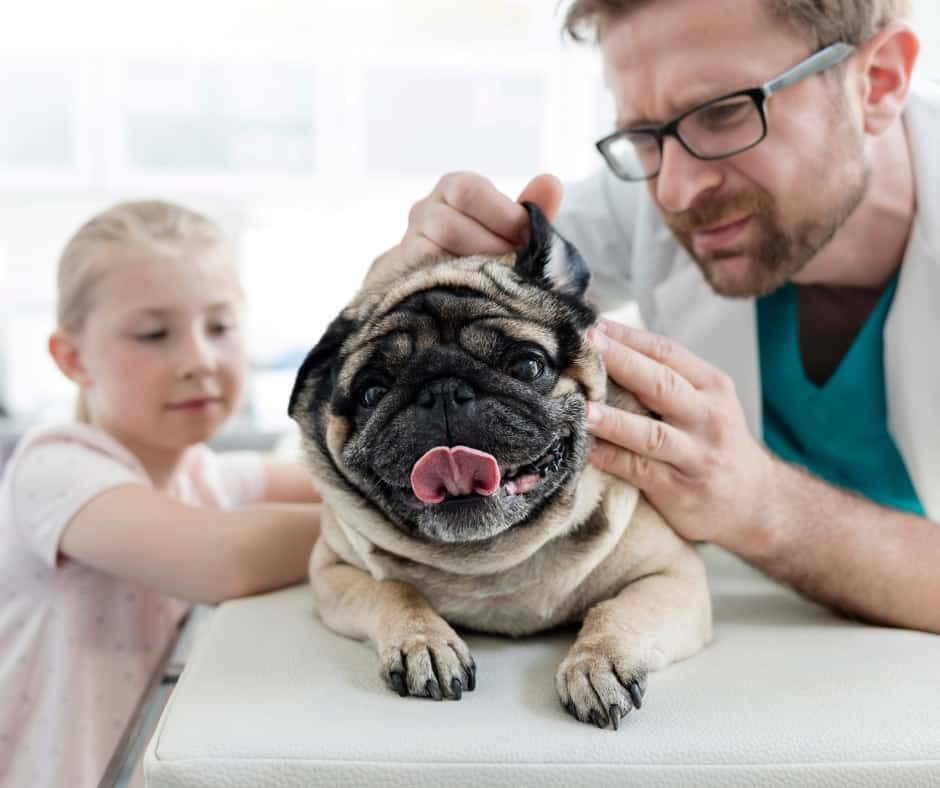 How To Clean Pugs Ears