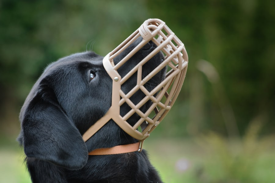 Before you pick up any muzzle from the pet store, it is very important that you measure your dog for it first. Otherwise, you will likely purchase the wrong size, and then your dog will be in pain wearing it. In this article, I will teach you how to measure a dog for a muzzle. These simple steps will save you time as well as money because now, when you get your dog a muzzle, you won't pick out the wrong size. Keep reading to see our simple steps to measure a dog for a muzzle. What is a Dog Muzzle? A dog muzzle is like a mask for dogs. It goes over the snout and muzzle of your dog to prevent owners and other people from getting hurt around an aggressive dog. It is secured onto the dog's head, and depending on the type of dog muzzle you choose, your dog should be able to open its mouth to drink water or pant. Muzzles that are not sized appropriately can be uncomfortable for your dog, and it can prevent them from opening their mouths. If you see marks on your dog's face after it's been worn, then chances are you are using the wrong size muzzle. Steps to Measure a Dog for a Muzzle Here are your basic steps to measure your dog for a muzzle. When you follow these, you will be able to purchase a muzzle for your dog confidently. Step 1. You need to measure the length from your dog's eye line to the very tip of your dog's nose. You don't want the muzzle to be longer than your dogs nose length because it will then obstruct your dog's vision. Step 2. For this measurement, you want to make sure you have a flexible sewing tape measure. You need to measure around your dog's snout. You're going to be measuring the circumference of your dogs large part of its snout. Start about an inch below your dog's eye line. Step 3. Now you need to take a measurement between your dog's eyeline along the base of the head, stopping behind your dog's ears. Step 4. Then you will need to find the circumference of your dog's neck. Start at the highest point of your dog's neck, right below your dog's 