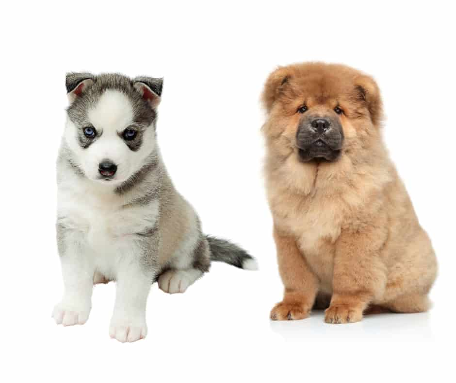 Husky And Chow Chow Puppy