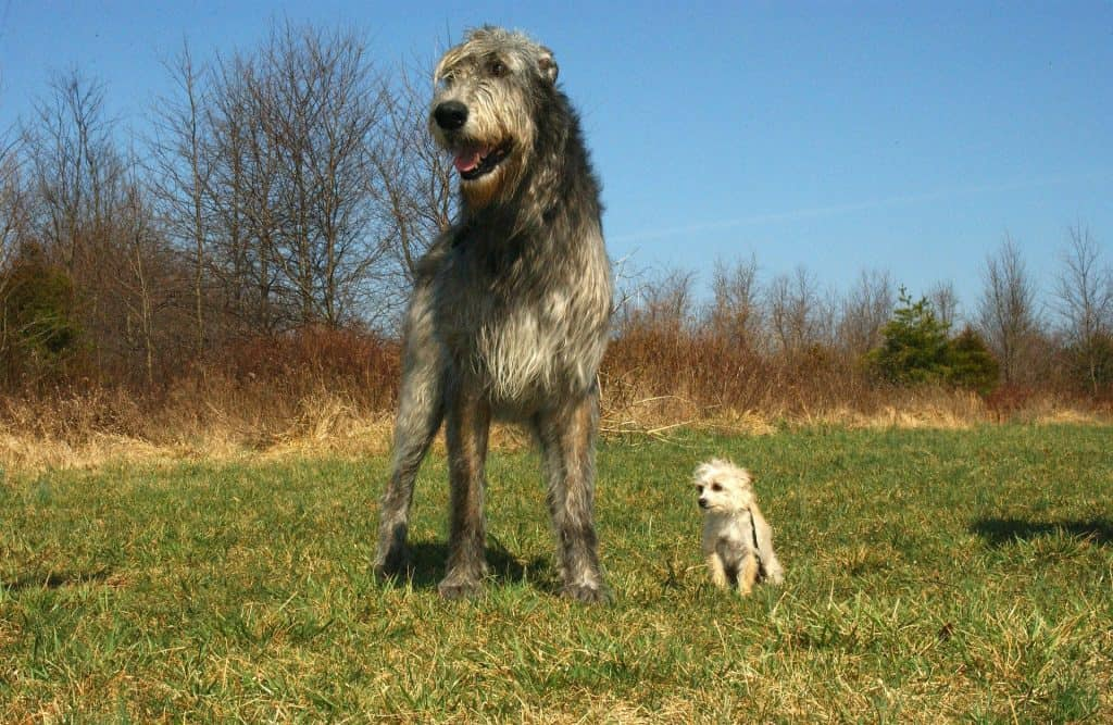 Irish Wolfhound Adult