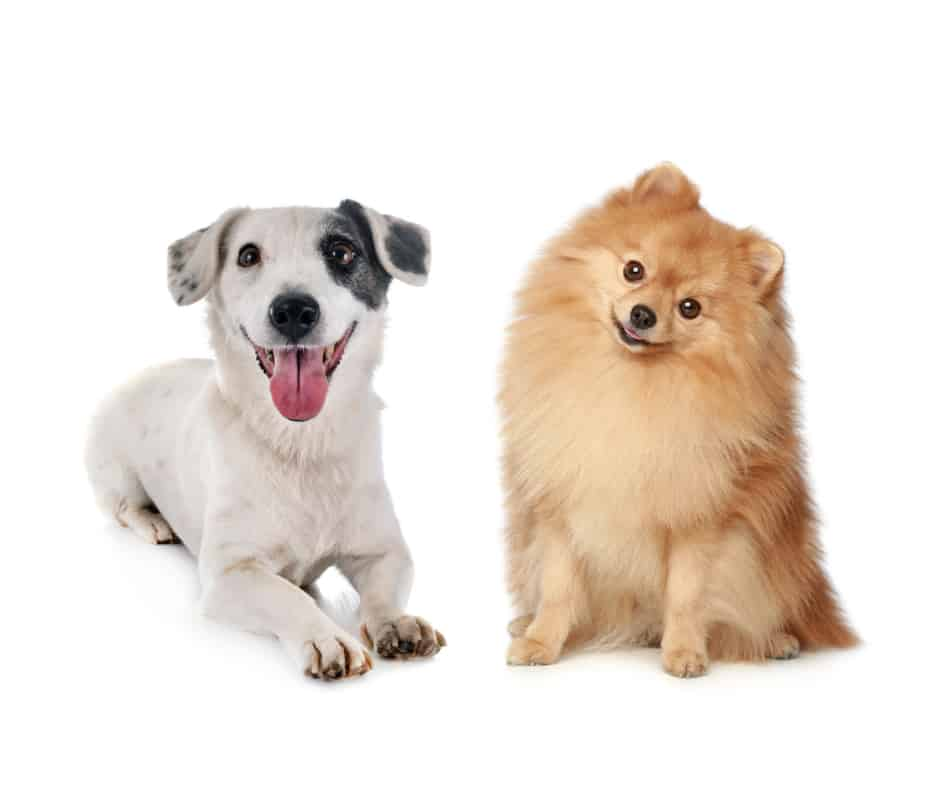 Jack Russell Terrier And Pomeranian