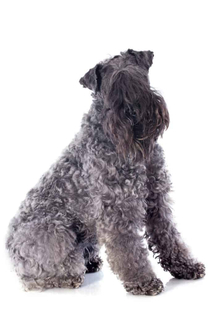 Kerry Blue Terrier Puppy For Sale