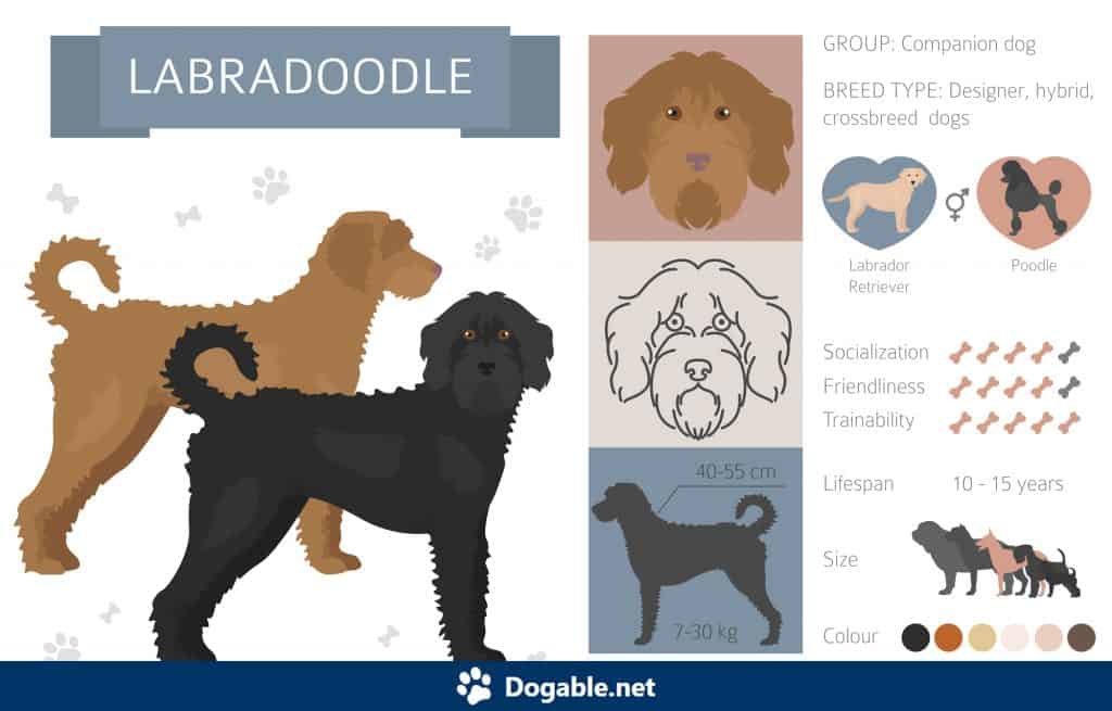 Labradoodle Infographic