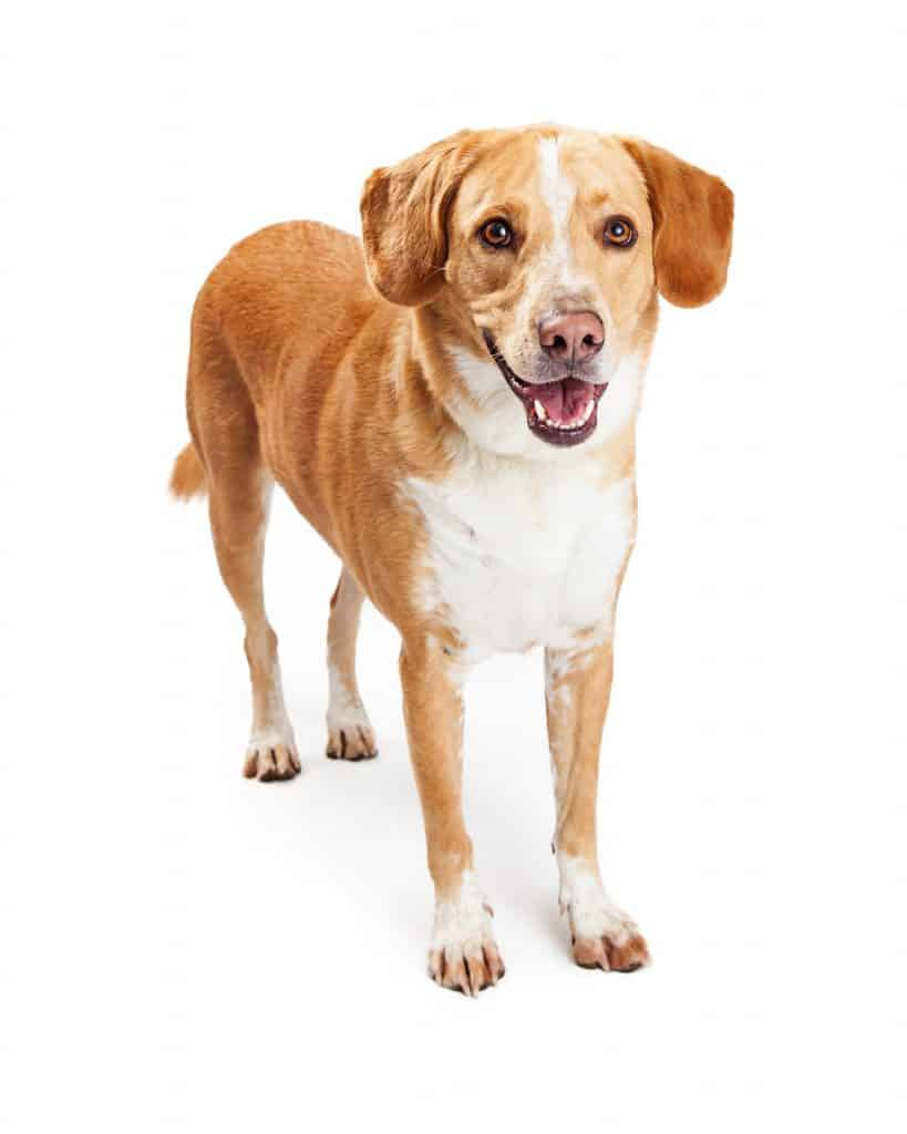 Labrador Beagle Mix
