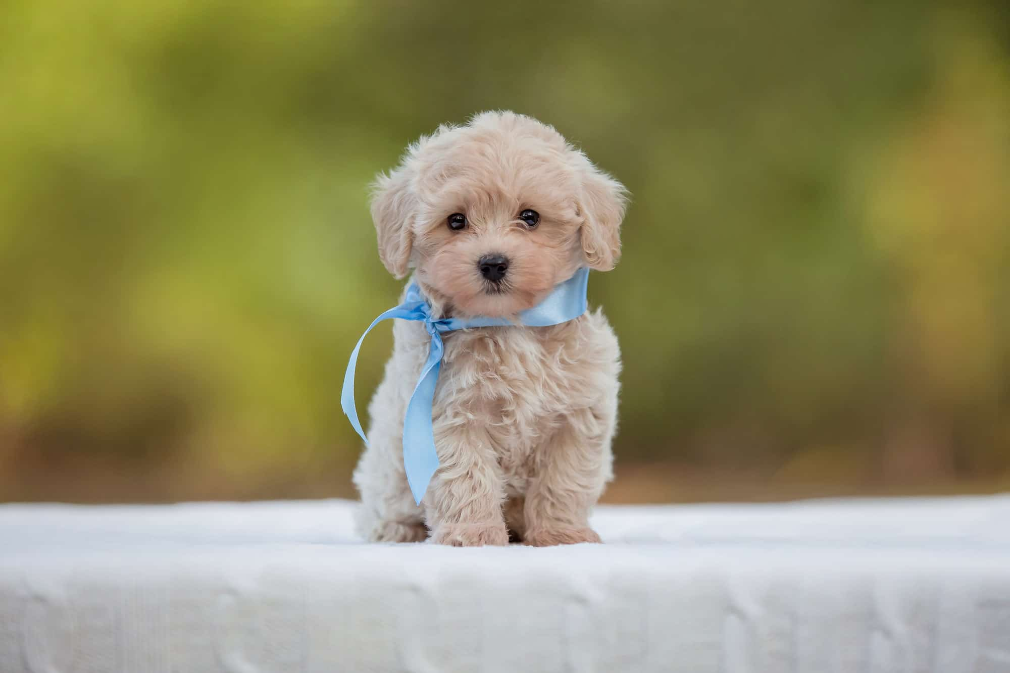 Maltese Poodle Mix Puppy