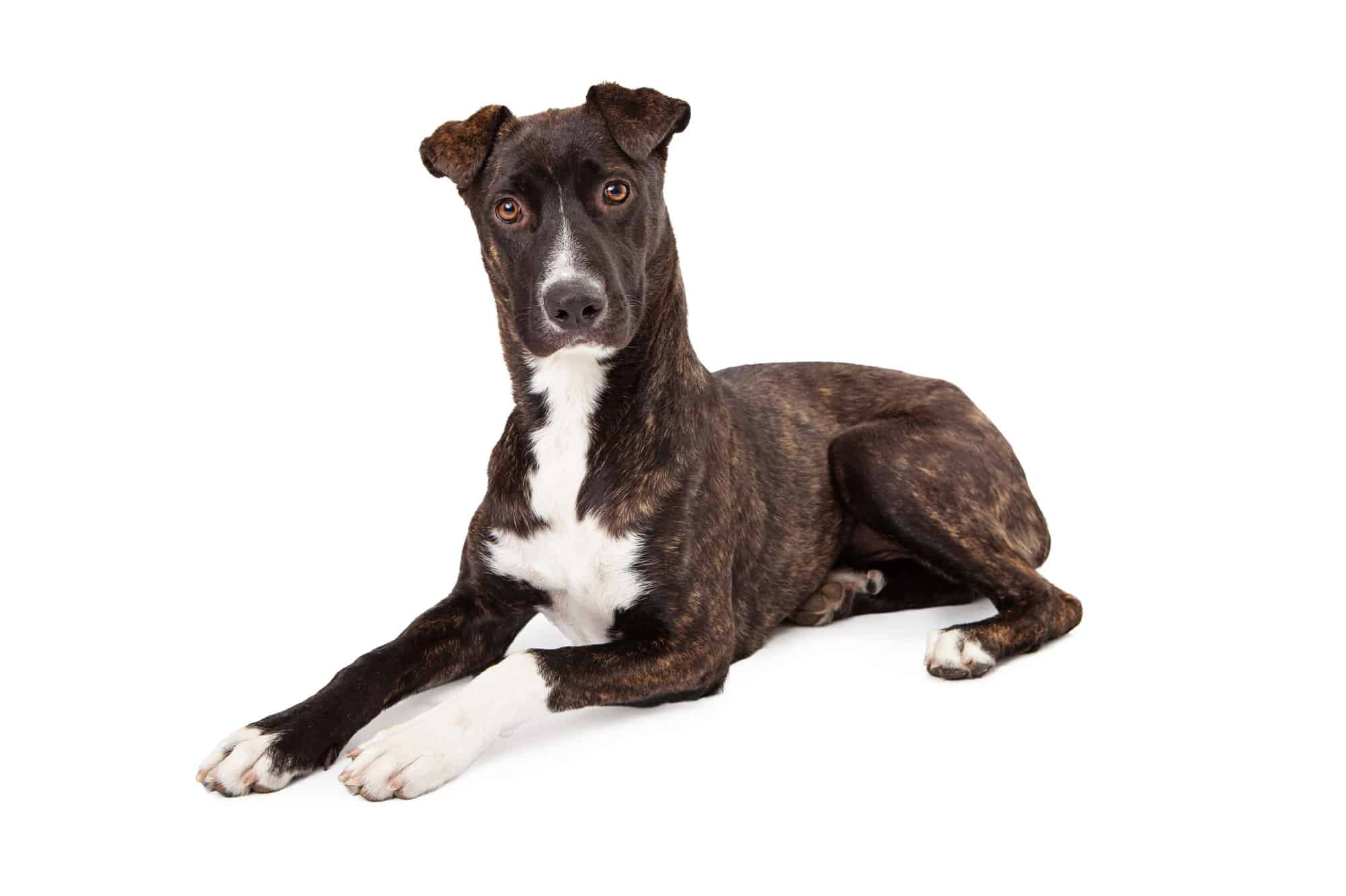 Mountain Cur Dog Breed