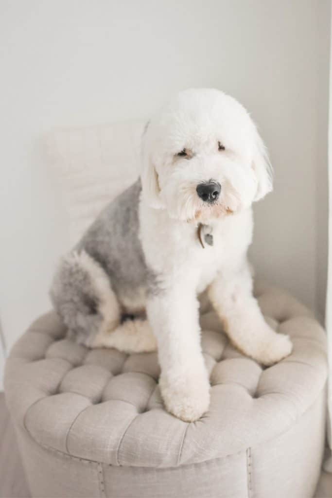 Old English Sheepdog Puppy For Sale