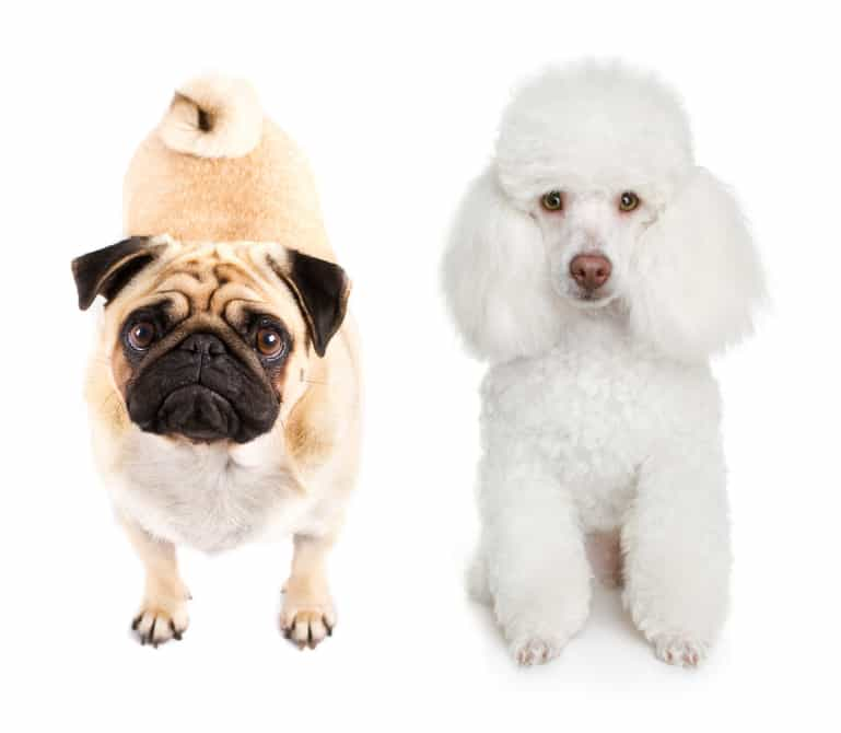 Pug And Poodle Together