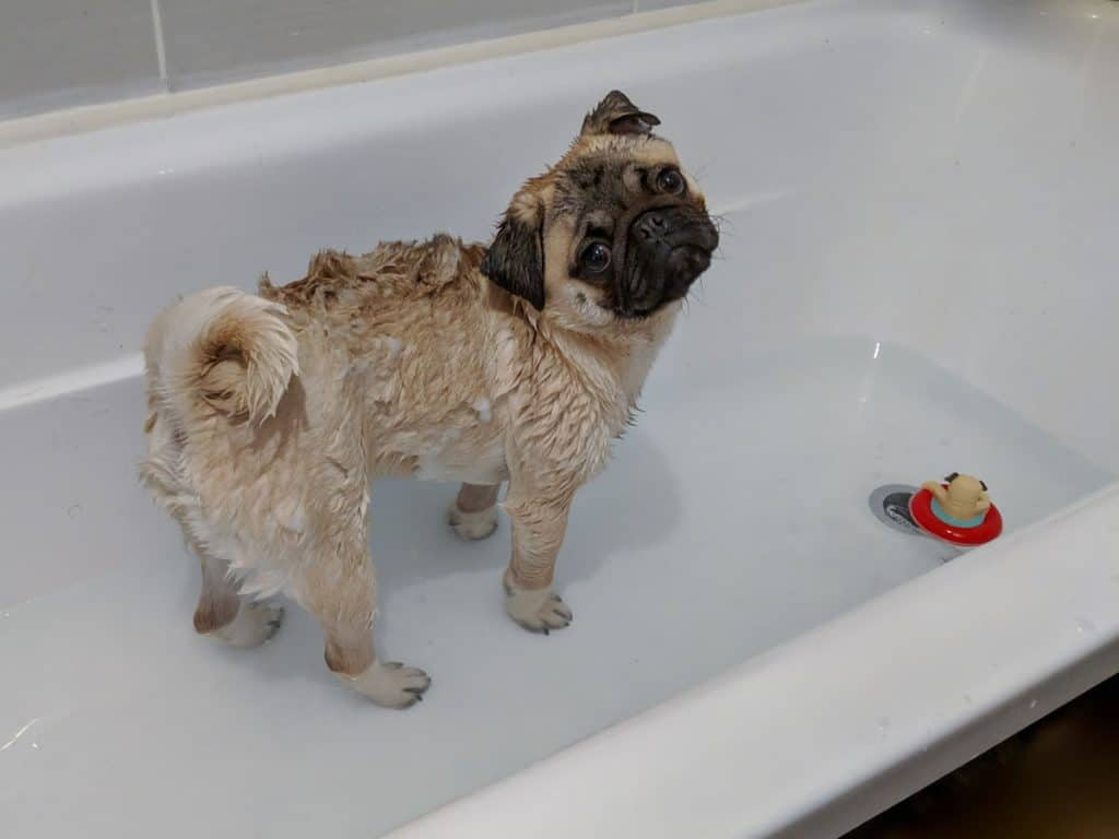 Pug in Bathtub