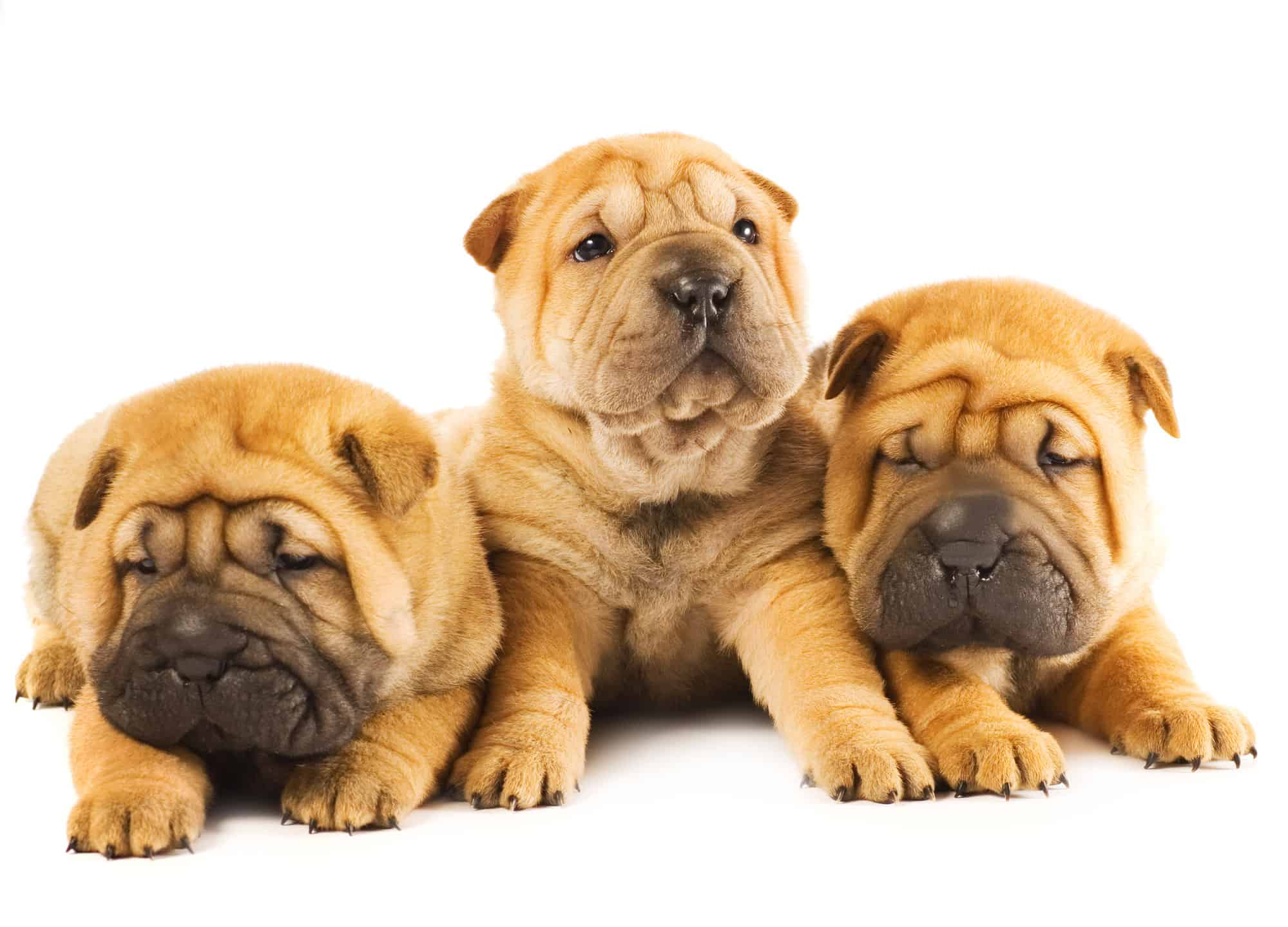 Shar-Pei Puppies For Sale
