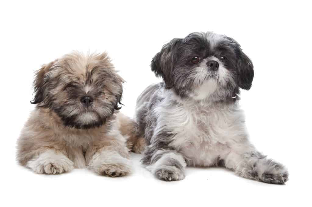 Shih Tzu And Lhasa Apso Puppies