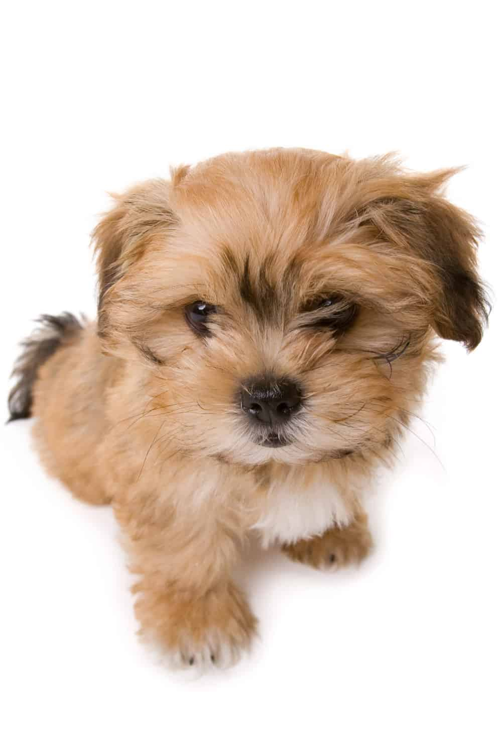 Shih Tzu Bichon Frise Puppies For Sale