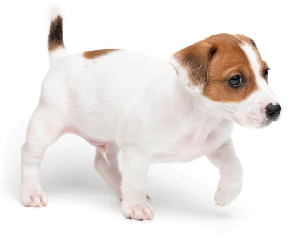 Shorty Jack Russell Puppies For Sale