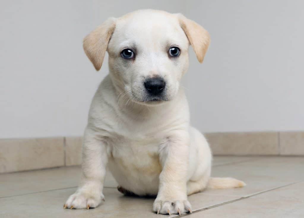 Siberian Husky Beagle Mix