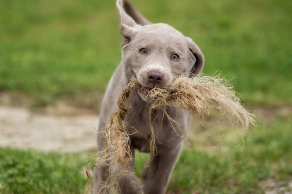 Silver Lab Playing
