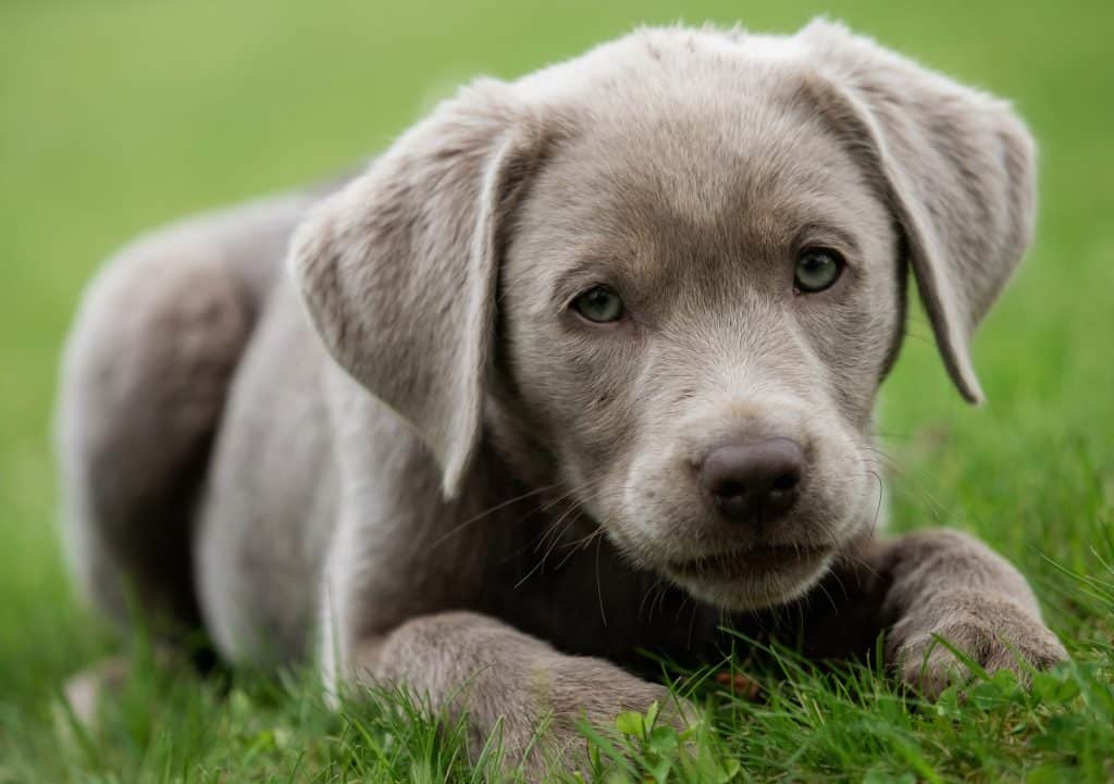 Silver Lab Puppies For Sale