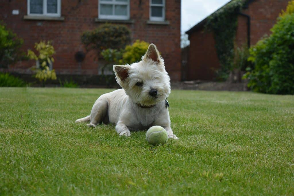 Terrier Invisible Dog Fence