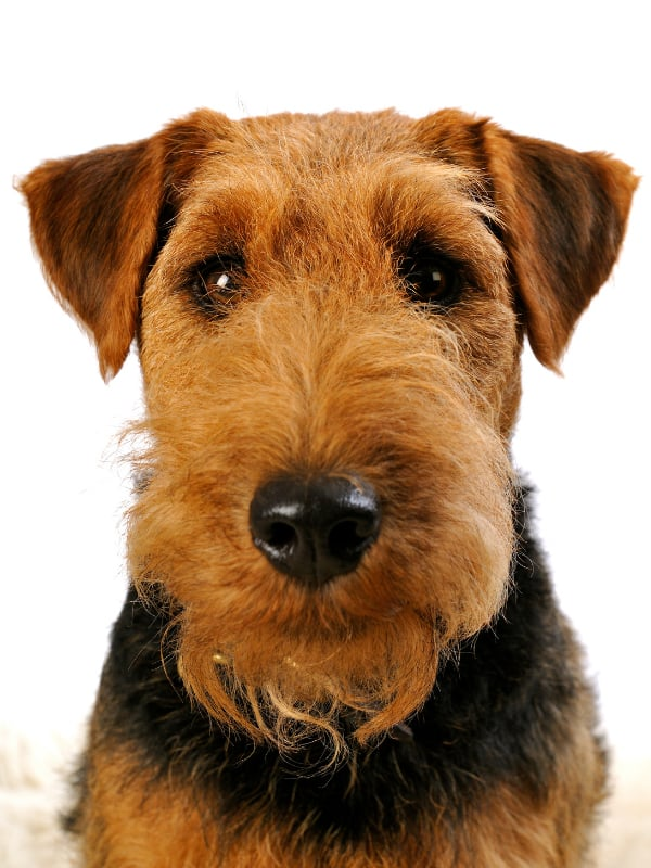 Welsh Terrier Puppy For Sale