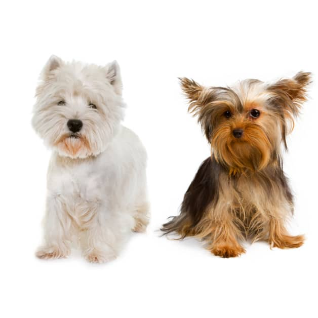 West Highland White Terrier And Yorkshire Terrier