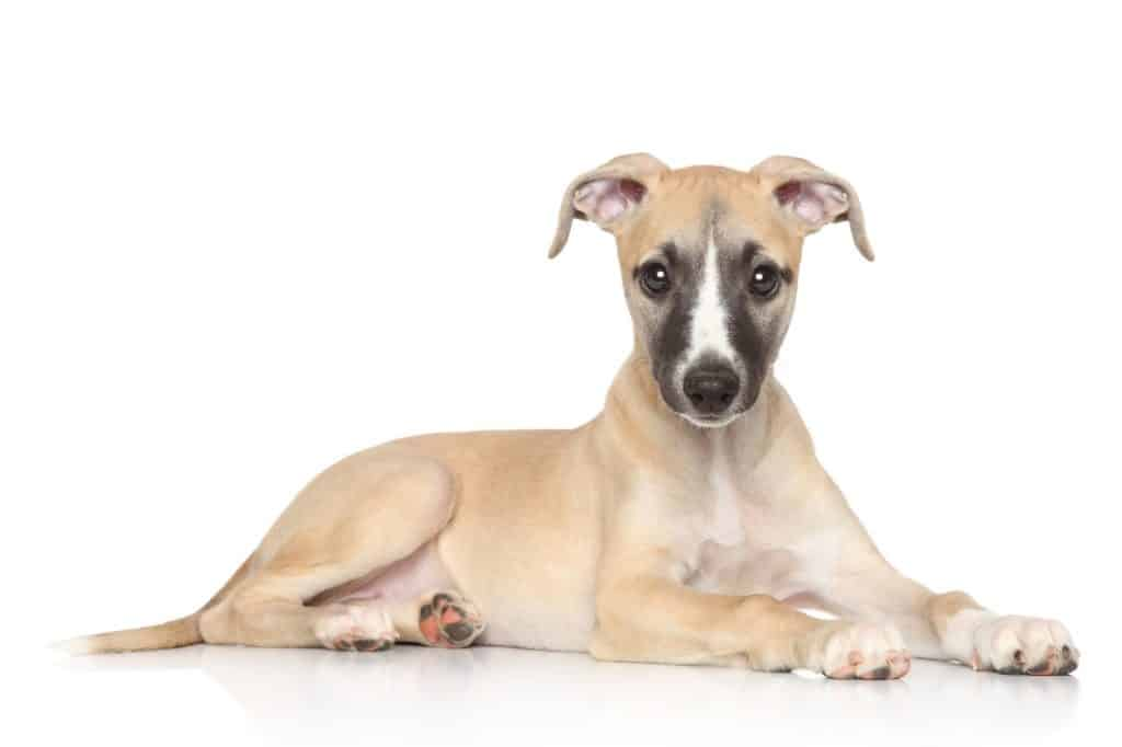 Where To Find Whippet Puppies For Sale