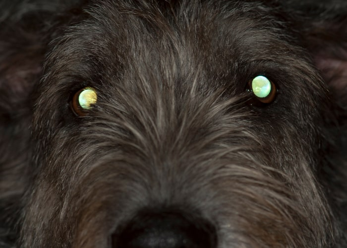 Why Do Dogs Eyes Glow